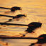 Rowing team's oars slicing through water, close-up, sunrise